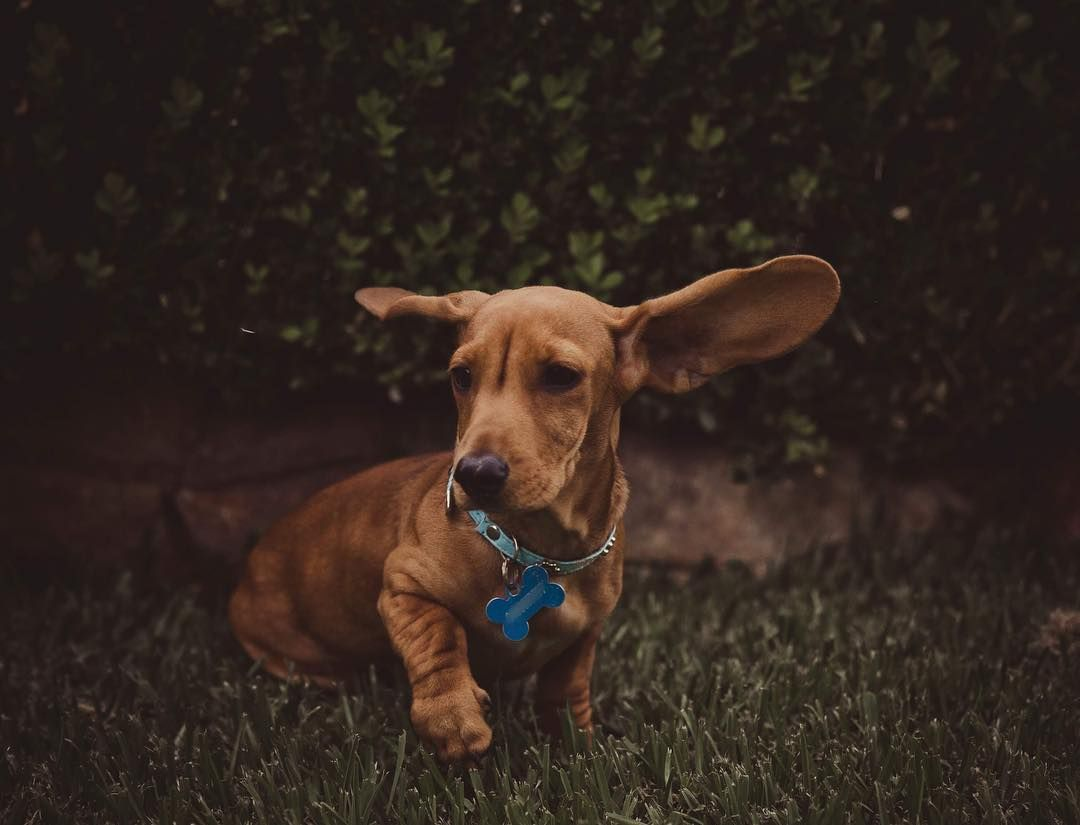 Dachshund Accessories For Dogs Baby Animals Pictures Dachshund