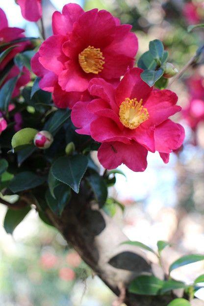 "fancylady2012:""紅色 山茶花 Sasanquahttp://photozou.jp/photo ...  Фруктовый Сад Обои"