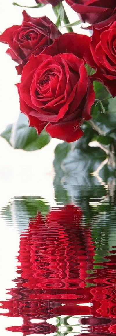 صور ورد و صور زهور من أجمل و أندر الورود من جميع أنحاء العالم مع خلفيات Hd بفبوف In 2021 Blumen Rosen Rote Rosen Blumen