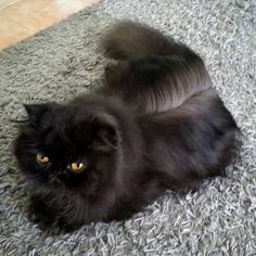 #ceazer #ceazeropersa #cats #blackcat #bestcat #gatopersa #gato #gatoslindos #persa #persiancats #persian #persiancatlovers #catlovers #catsofig #meow #catstagram #instacat #ilovecats #ilovemycat #lovemycat #catlife #catslife #catofinsta #catofinstagram #dailycat #cutecat #happycatclub #happycatclub #lovelycats #catoftheday