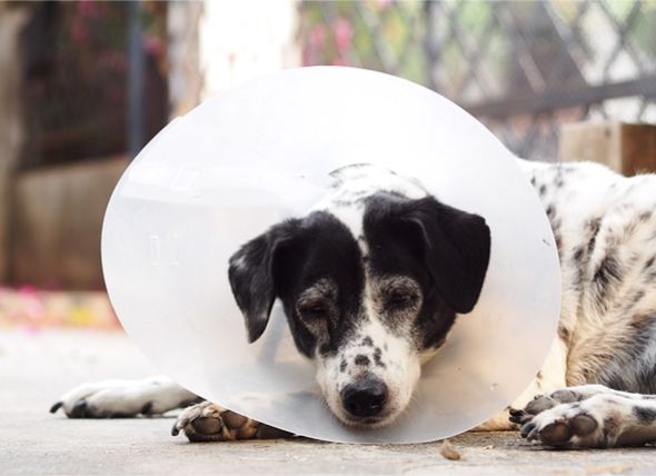 Spaying And Neutering Dogs 101 The Procedure Recovery And Costs