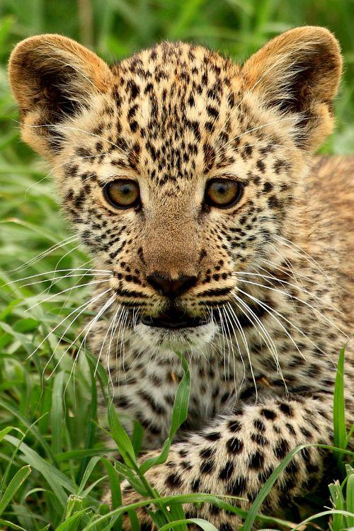 Leopard Cub, Tanzania by Owen Kilgour