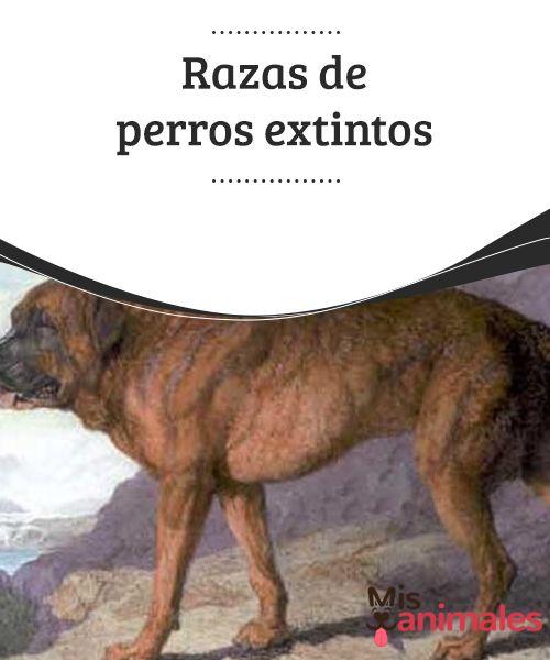 Razas de perros #extintos  En la actualidad hay más de 800 tipos de canes en todo el mundo. Sin embargo, en el pasado había otros que no llegaron a nuestros días por #diferentes razones. En el #siguiente artículo te contamos #cuáles son algunas de las razas de perros extintos.