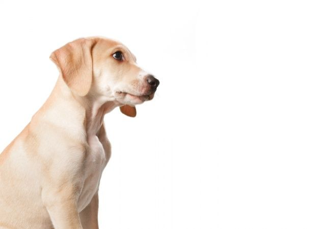 Download Short Haired Blonde Dog With Mouth Closed For Free Dogs Photo Pets
