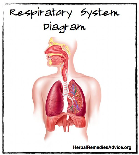 Organs Of The Respiratory System Upper Tract Nose Pharynx Larynx