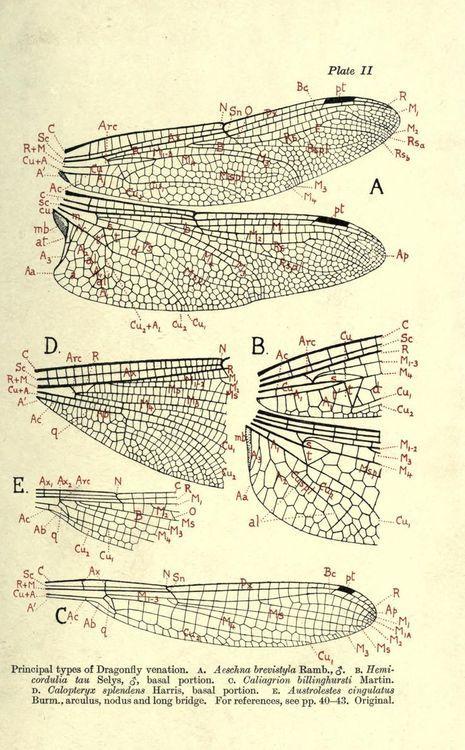 Principal Types Of Dragonfly Venation 1917 Botanic Scientific