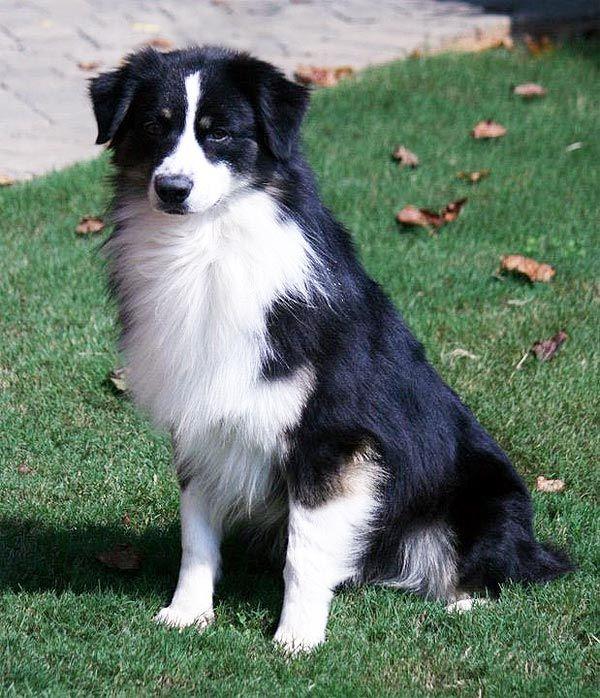 Stetson A Black Bicolor Australian Shepherd Australian Shepherd Australian Shepherd Dogs Aussie Shepherd
