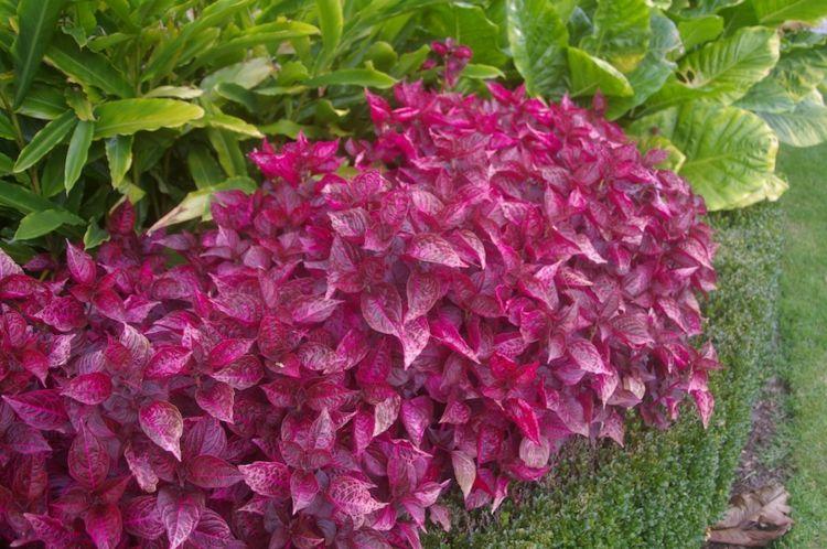 Arbuste feuilles rouges 18 id es pour embellir le jardin d co design et rouge - Plante a feuilles rouges ...