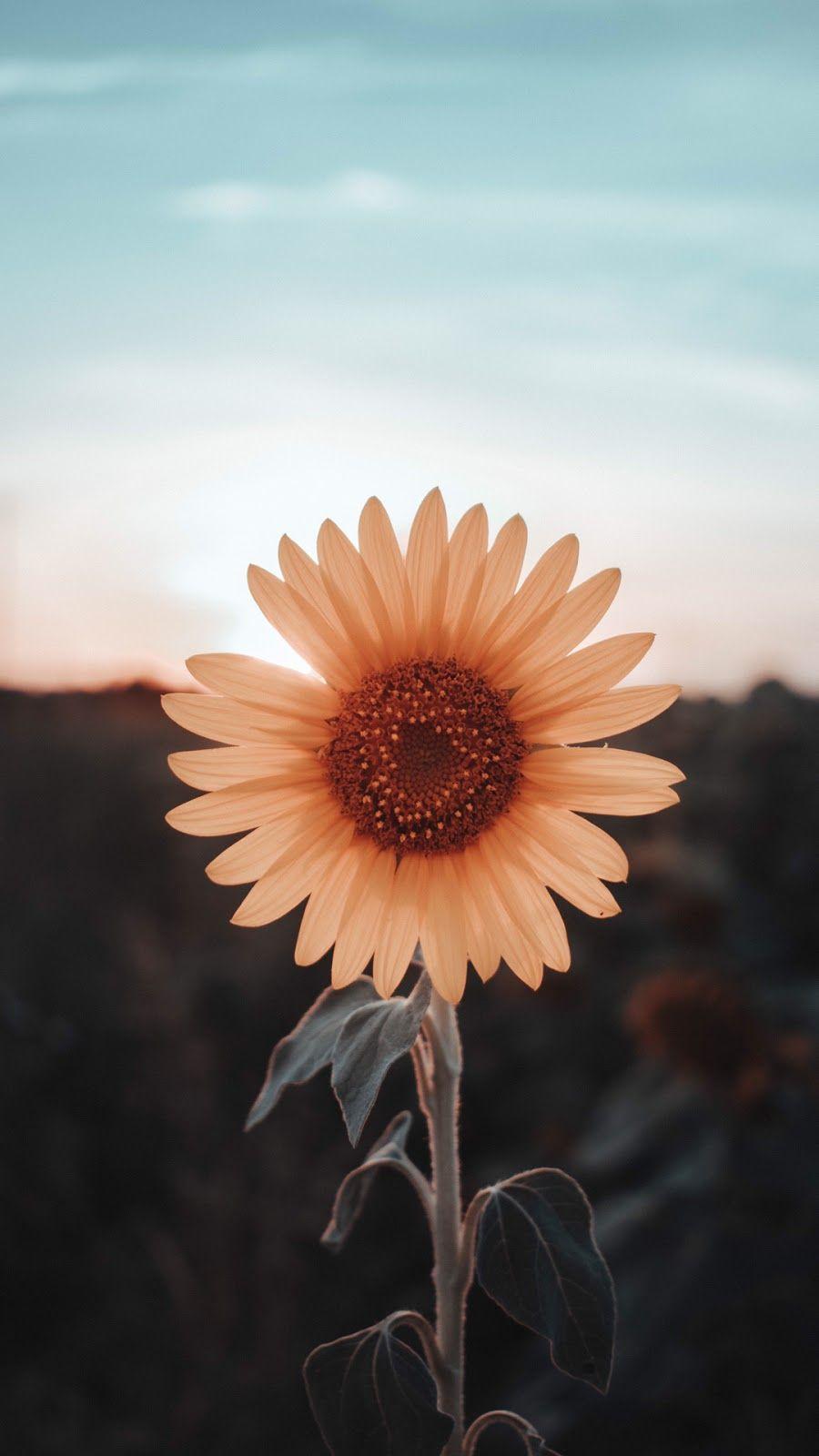 sunflower wallpaper Sunflower wallpaper, Aesthetic
