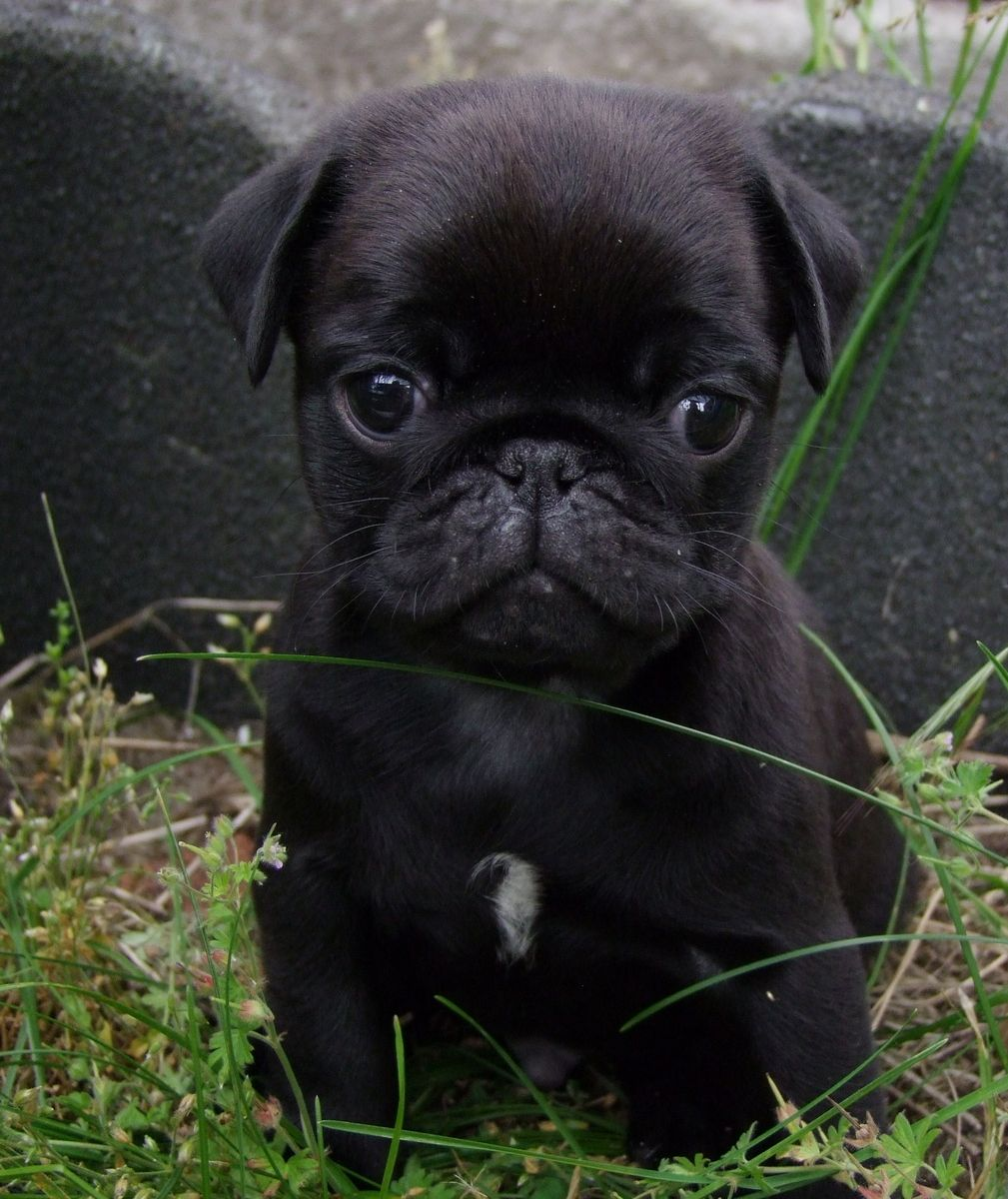 Pin Em Cute Pug Pictures Pin Your Pugs Group Board Hosted By
