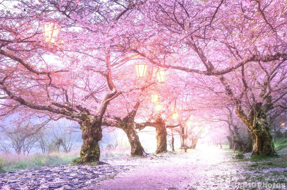 Cherry Blossoms Tree In Japan Hd Pictures Big Hd Photos