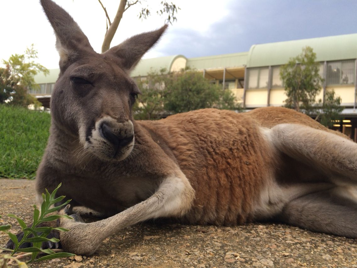 Penny the Red Kangaroo is taking a laidback approach to