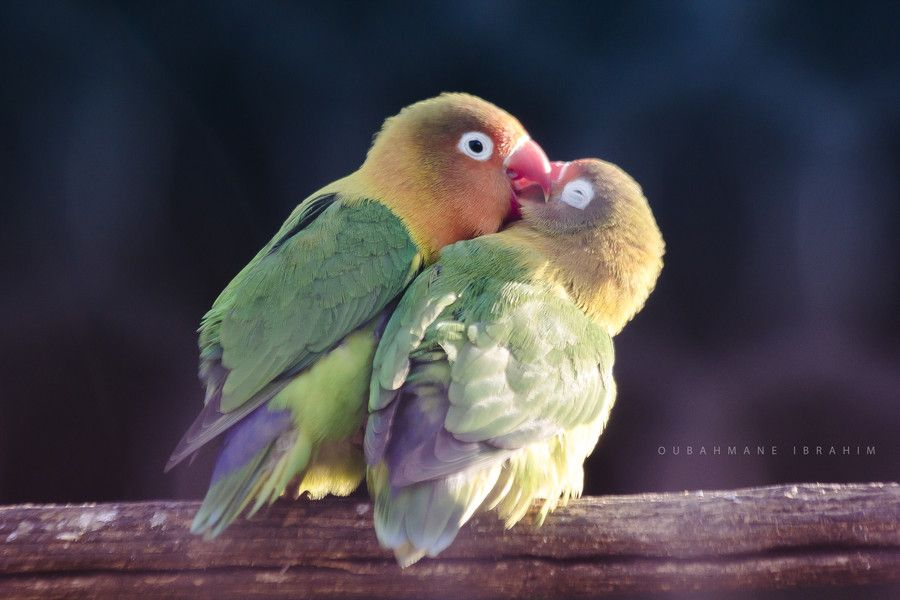 Inseparable Bird By Ibrahim Oubahmane On 500px