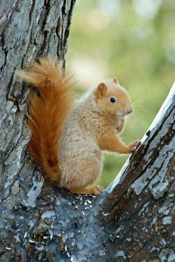 Ginger Squirrel!!! Squirrel pictures, Squirrel, Animals