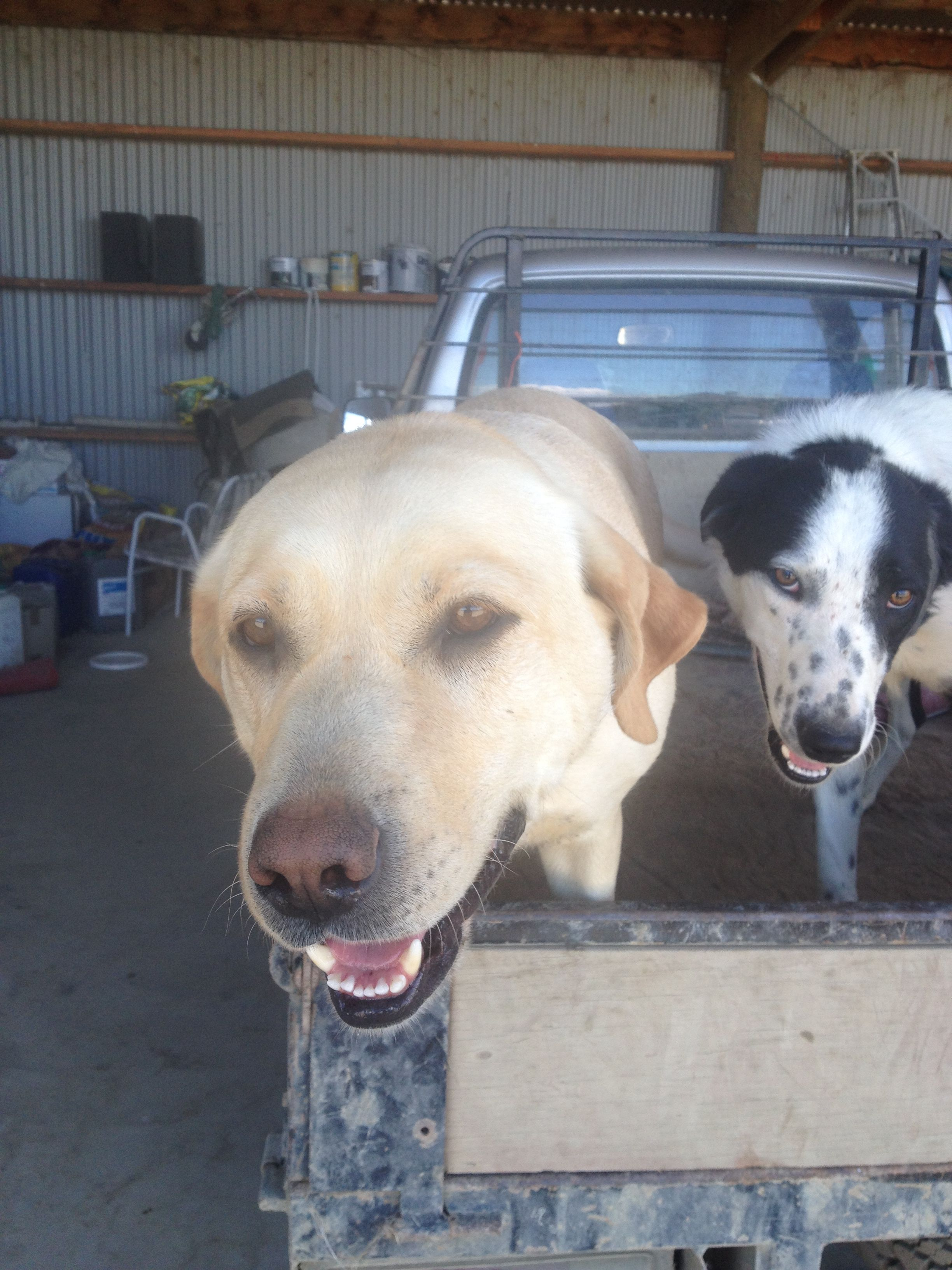 Bella And Fred And Inker Labrador And Heading Dog Pawshake