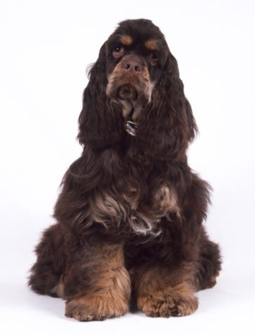 American Cocker Spaniel Liver And Tan American Cocker Spaniel Cocker Spaniel Black Cocker Spaniel