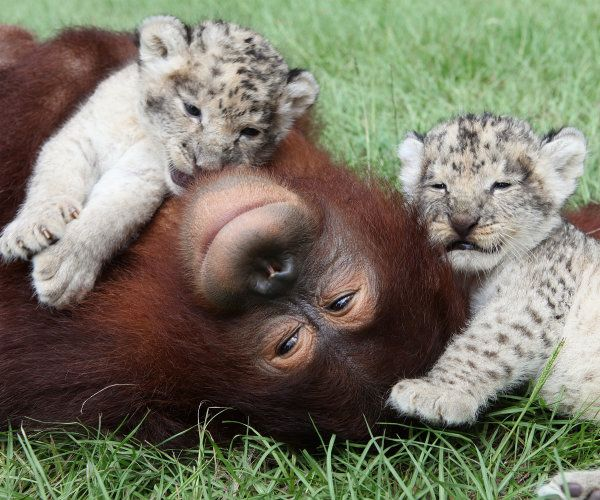 Hanama the orangutan helps feed these fuzzy cubs, becoming an unlikely babysitter until they grow large enough to fend for themselves