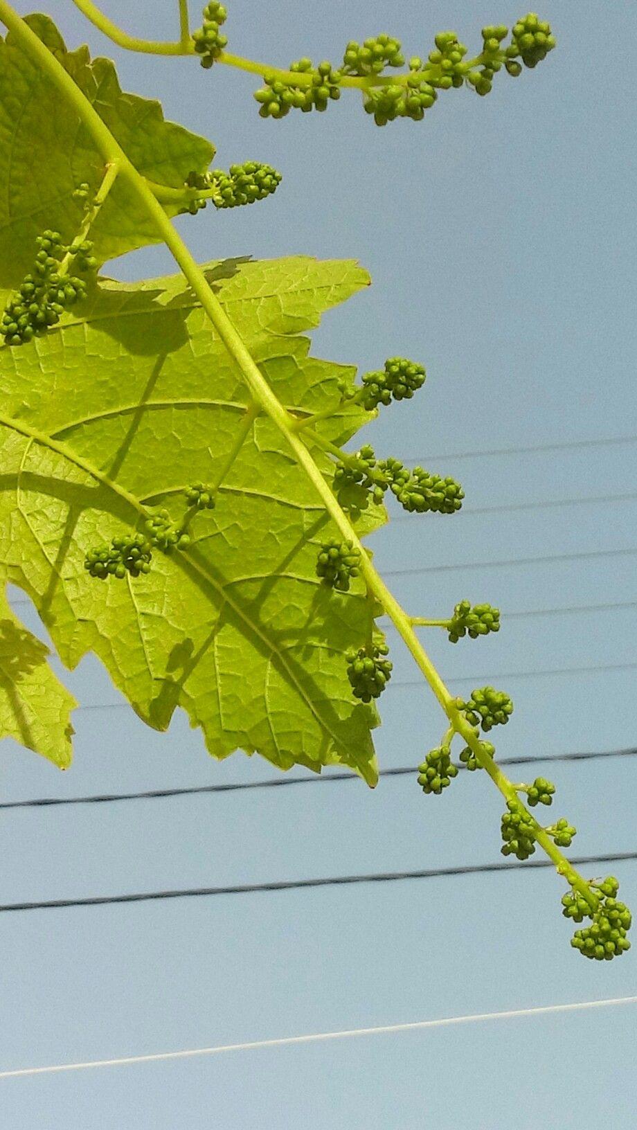 عنقود عنب اول تكوينه المغيريه جبل لبنان Plant Leaves Plants Leaves