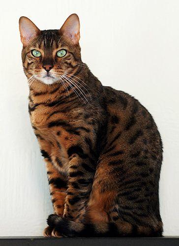 Pin By Amira Shemisa On The World Of Cats Ocicat Pets Cats