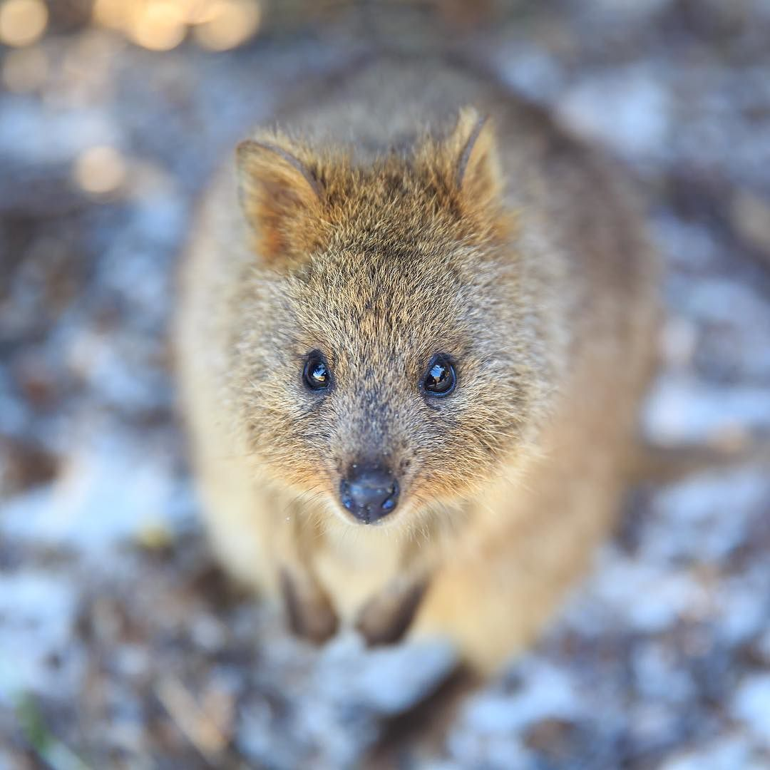 The Quokka (Setonix brachyurus) is a small marsupial