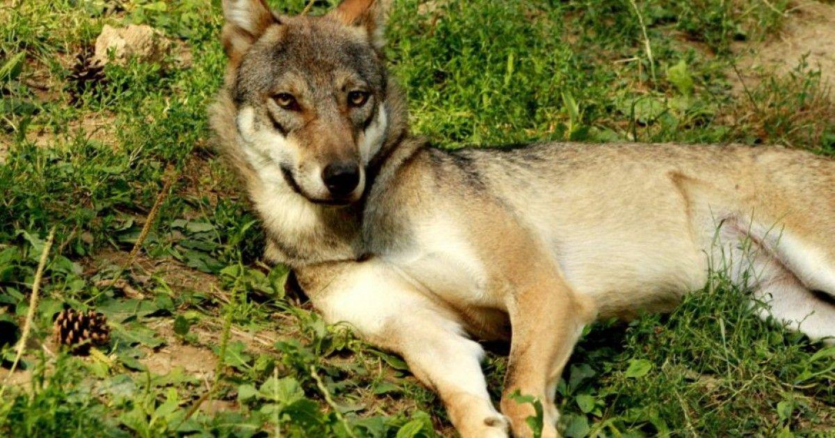 Bojnická zoo má nových členov, k jej obyvateľom pribudli tri nové vlčice.  #vlk #wolf