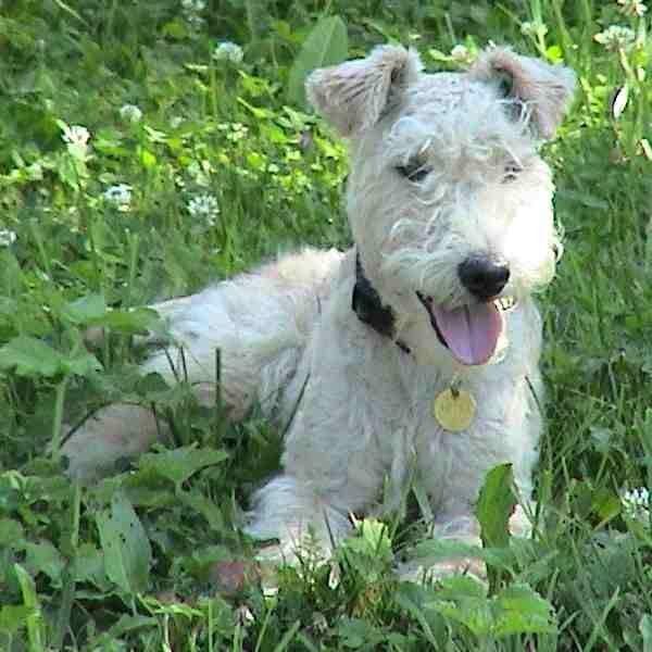 Lakeland Terrier Free Animal Pictures Lakeland Terrier Terrier Lakeland