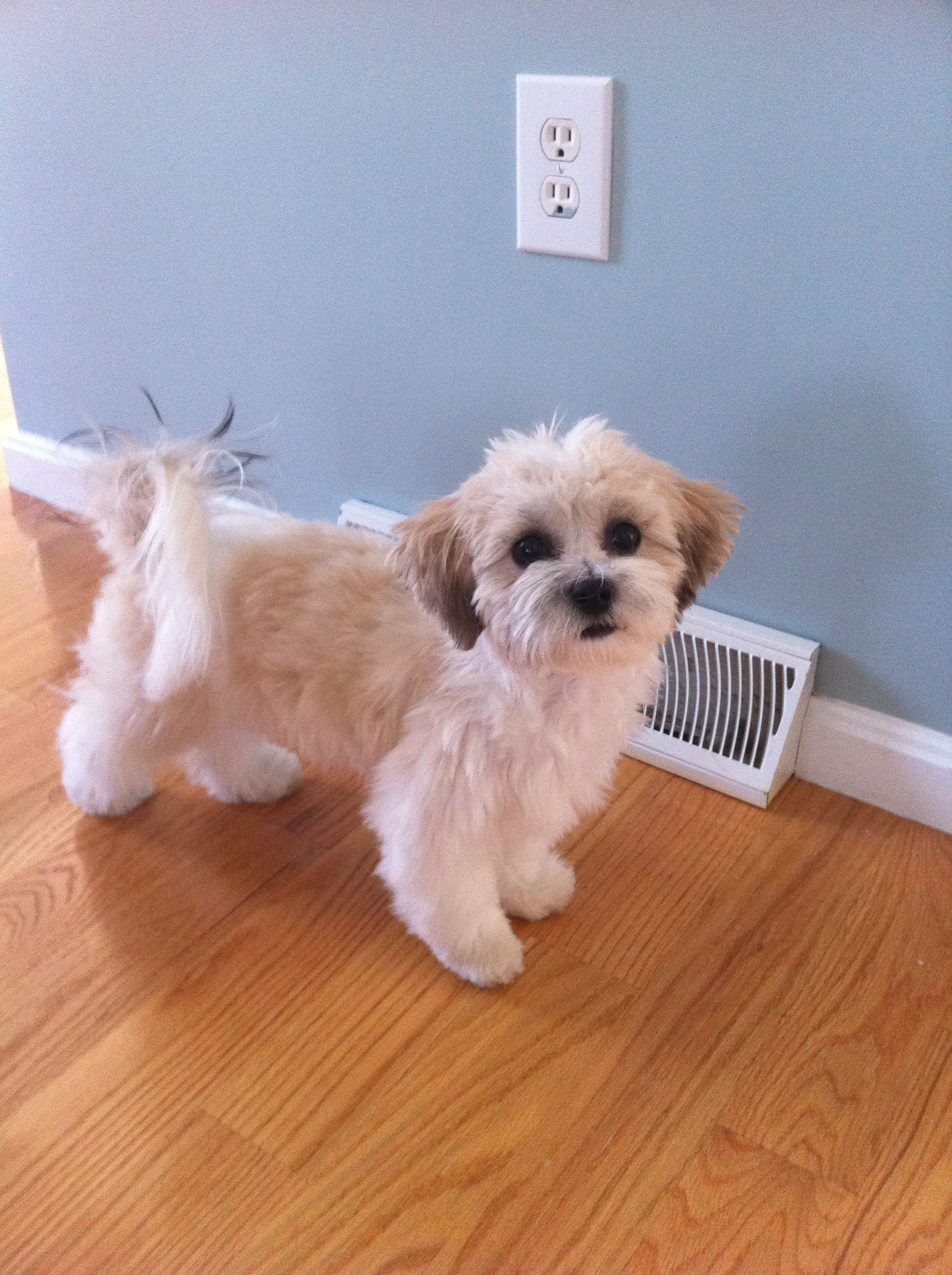 Shichon puppies for sale in kentucky - Zoey Our Shichon After Her First Major Haircut She Was Not Pleased