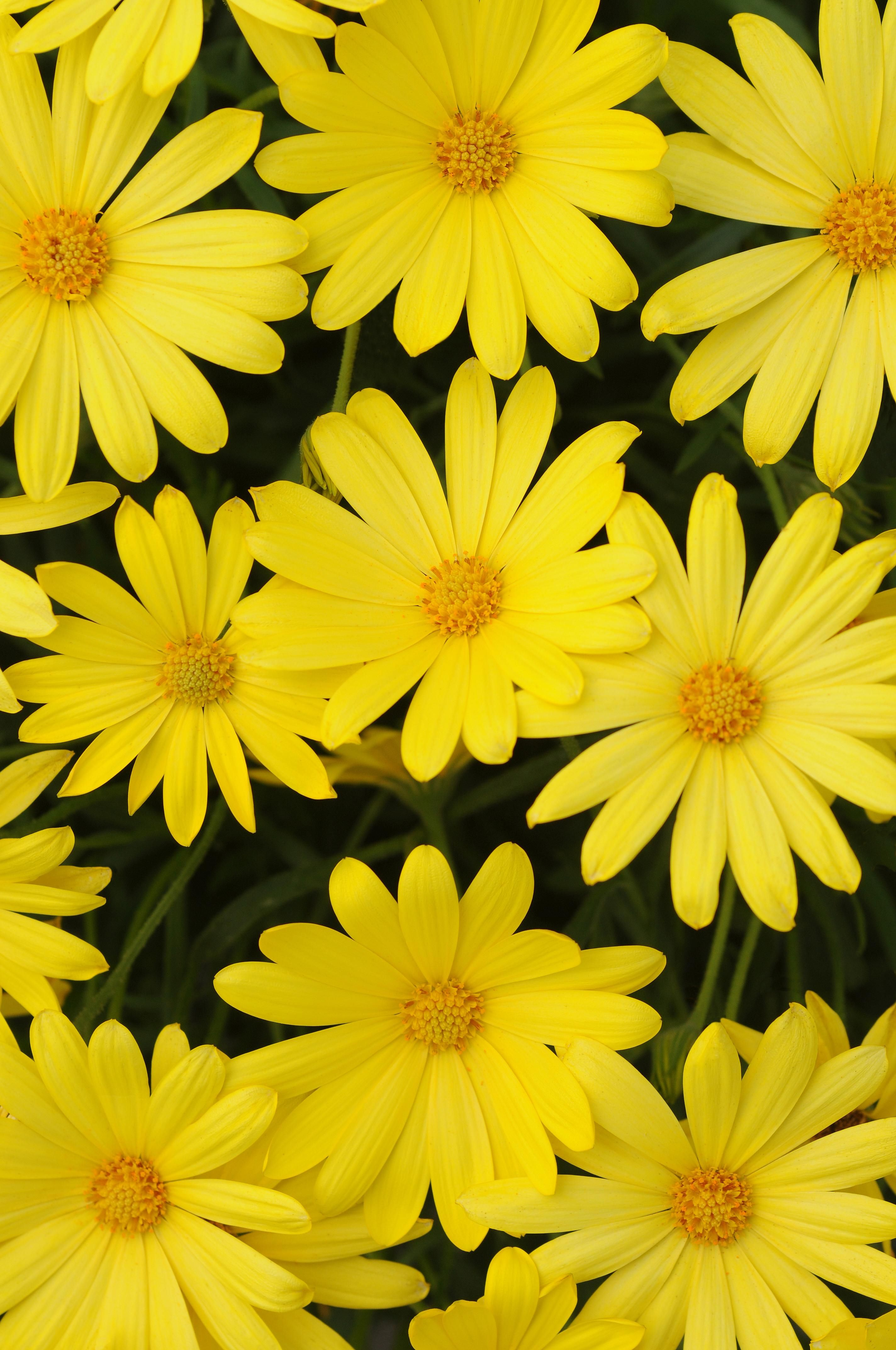 Osteospermum Voltage Yellow Ball Horticultural Co Spring 2014