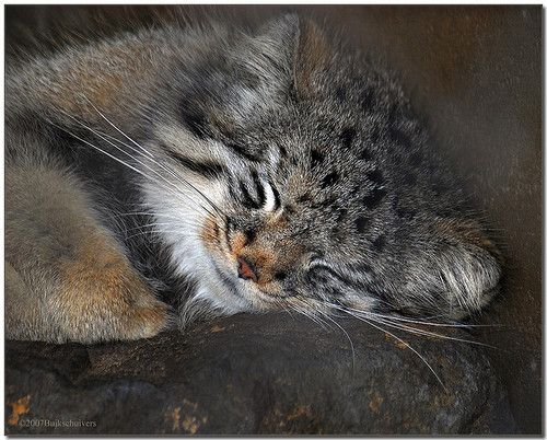 Pallas Cat Otocolobus Manul Small Wild Cats Pallas S Cat Cat
