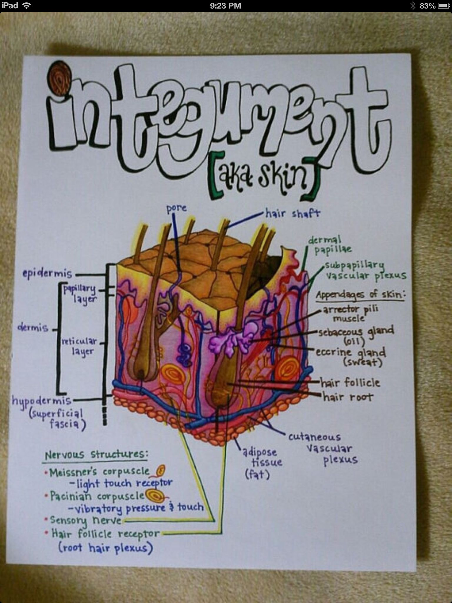 Repinned from A very! clever pinner Integumentary System | Anatomy ...