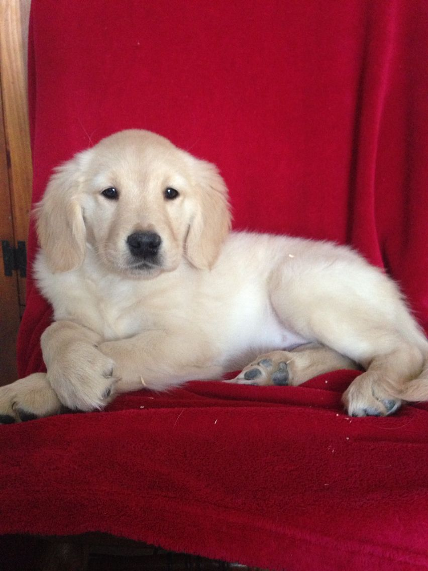 Golden Retriever Puppy 2 Puppies Available Male And Female 13