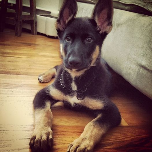GSD Puppy-Zeke