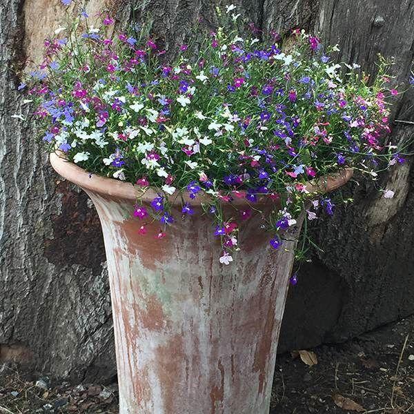 Lobelia Bedding Mixed 40 Plus 20 Free Large Plug Plants Plants