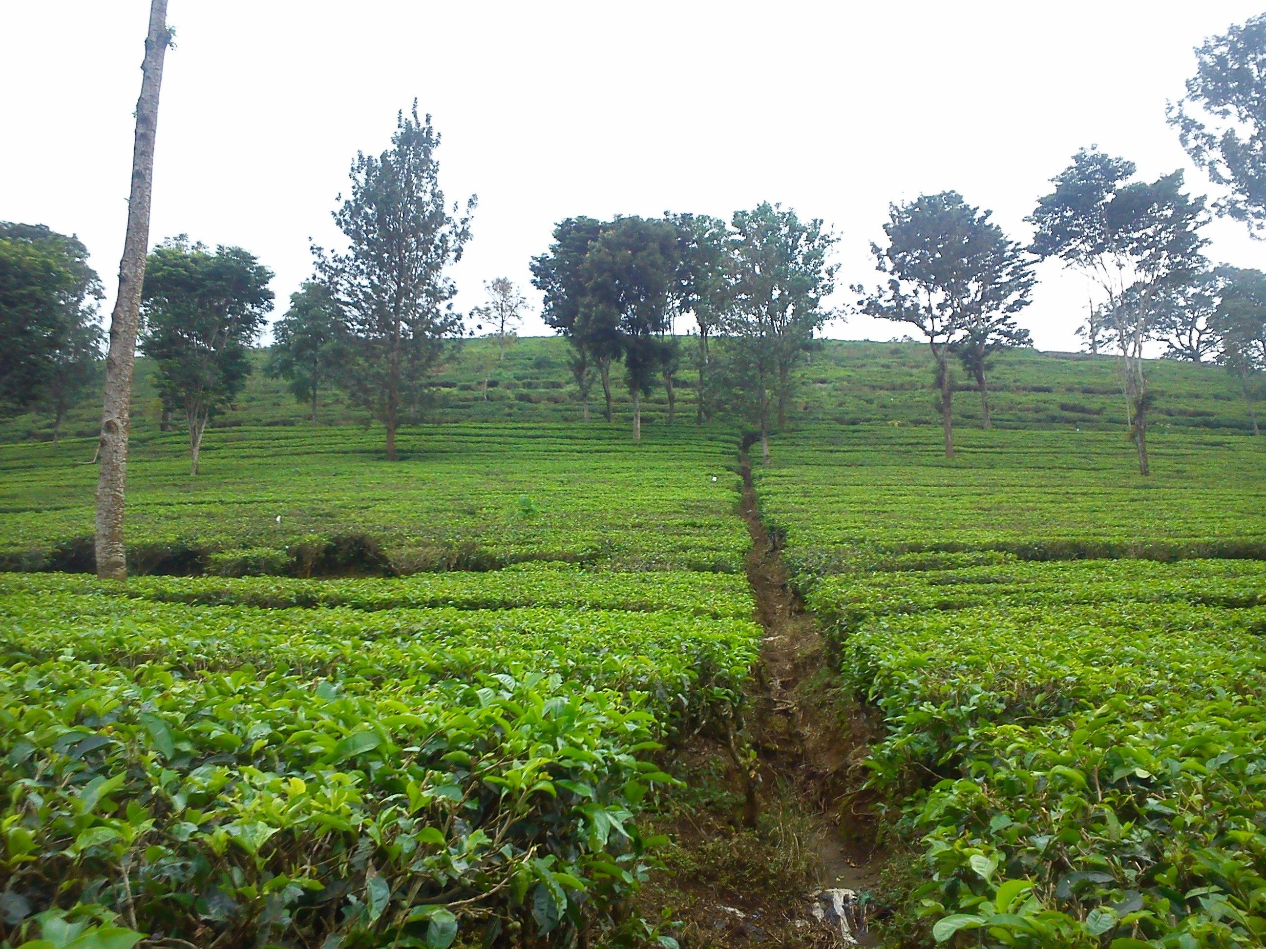 Kebun Teh Yang Ada Di Bogor