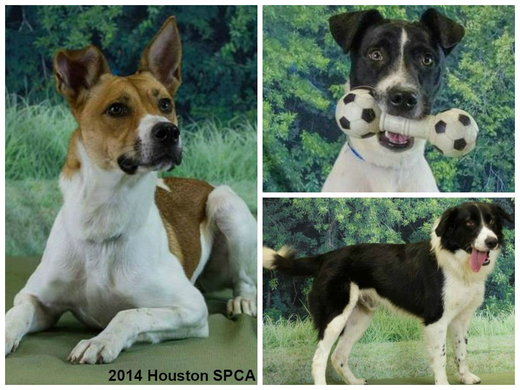 Dogs At The Houston Spca Excluding Those In The Spot Peabody Room
