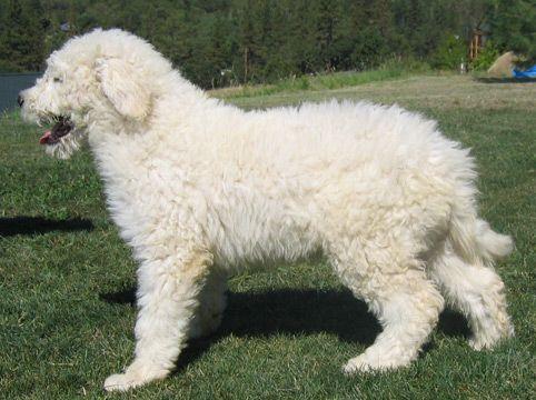 Koomoodor Dog Komondor Puppy For Sale Show Pet Or Lgd Puppies