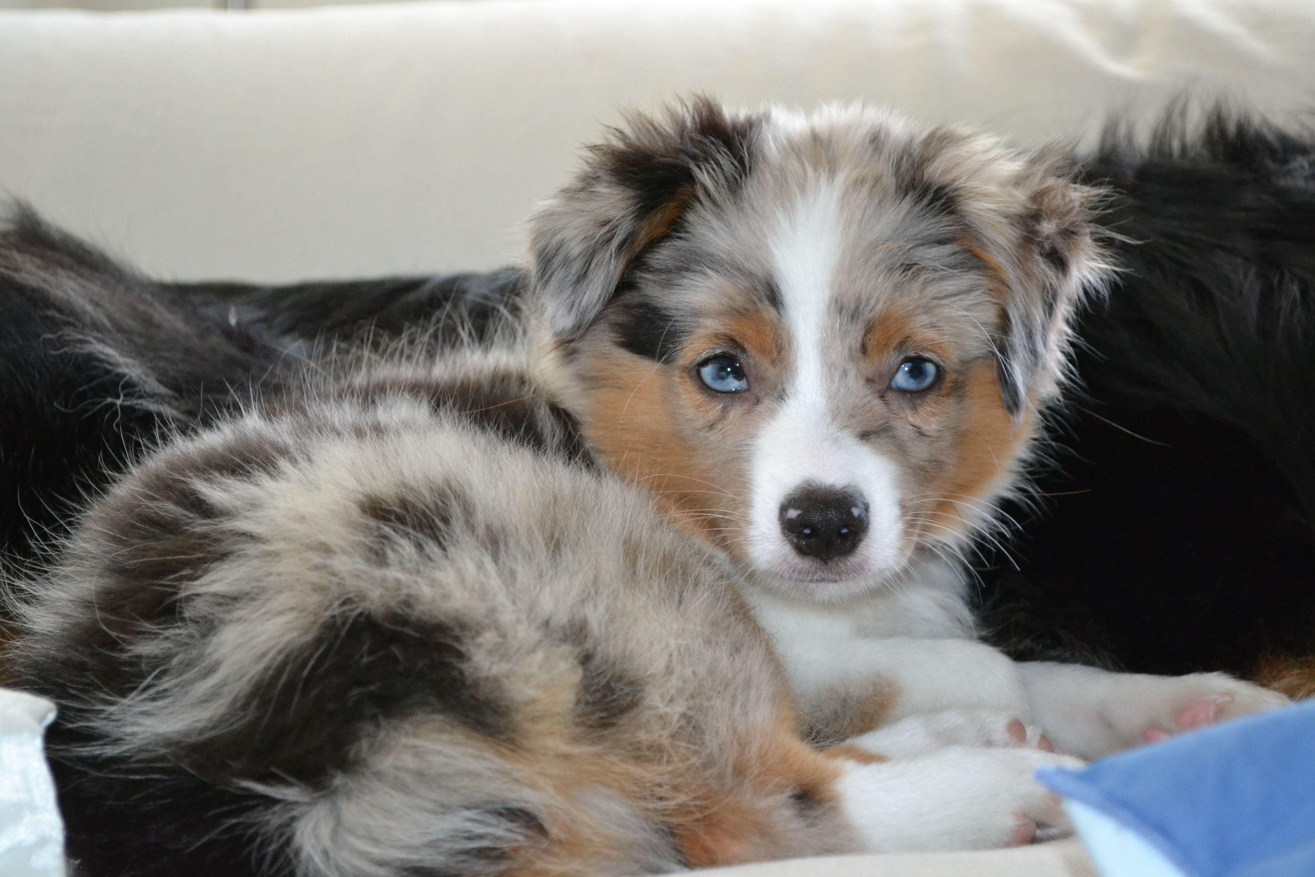 Toy Australian Shepherd; My Baby Australian shepherd