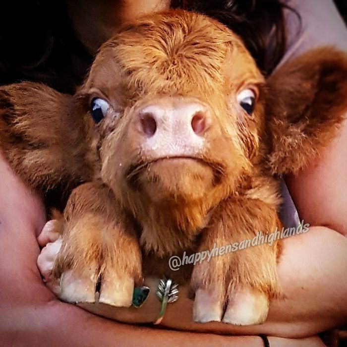 If You Ever Feel Sad, These 85 Highland Cattle Calves Will Make You Smile #cuteanimals