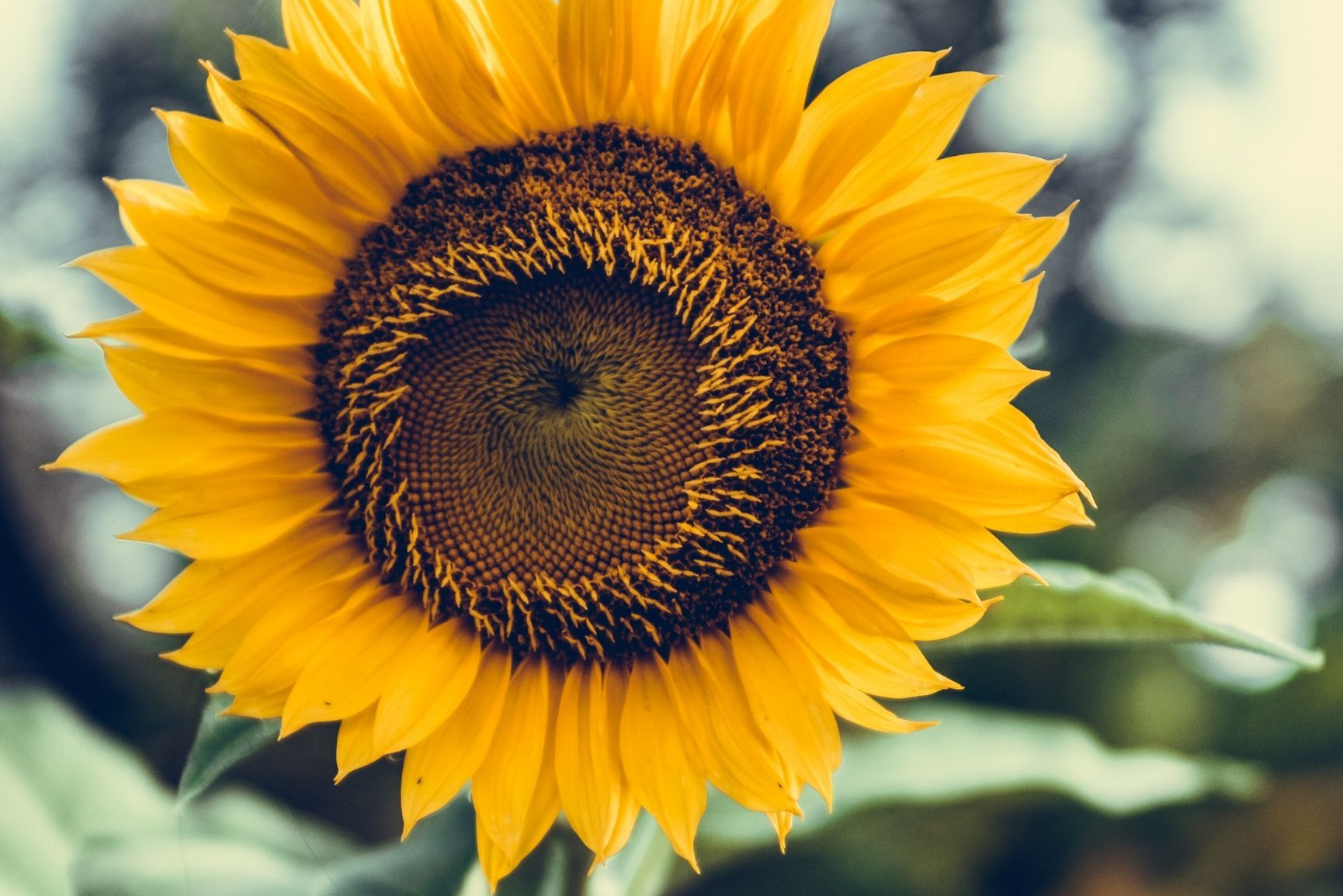 12 Super Pretty Sunflower iPhone Wallpapers Preppy