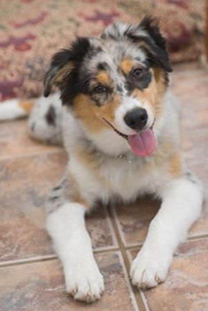 Characteristics Of The Australian Shepherd Border Collie Mix