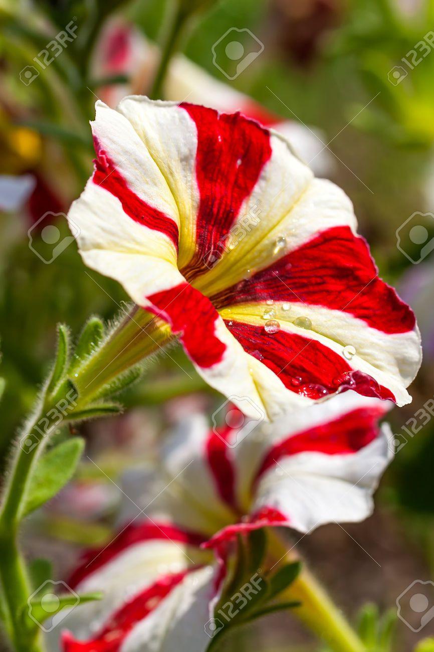 Red White Striped Petunias Plants For Garden Pinterest