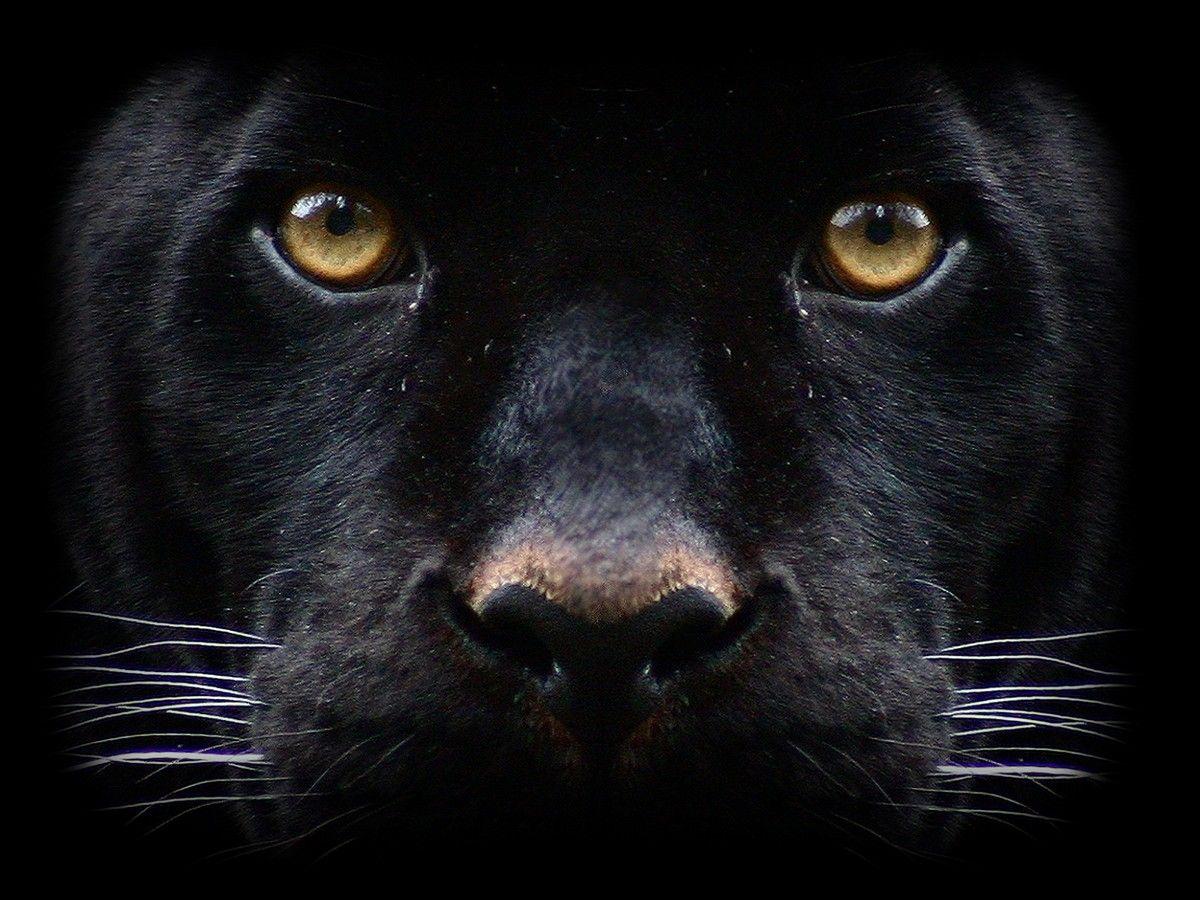 black puma face