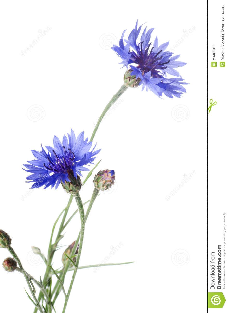 Beautiful Blue Cornflower Download From Over 59 Million High Quality Stock Photos Images Vec Watercolor Flowers Paintings Flower Painting Floral Watercolor
