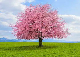 Everyone Has A Random Stock Photo That Accurately Sums Up Their Life Here S Yours Flowering Trees Flowering Cherry Tree Potted Trees