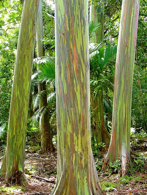 These Painted Bark Eucalyptus Trees Like Ones Found On The Hana Highway In Maui Are A Trip First Sight Still Wasn T Sure I Really Saw Them Till Came