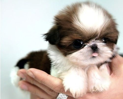 Baby Shih Tzu Click on the pic for a funny video http://media-cache9.pinterest.com/upload/23432860531179487_OIypefEh_f.jpg www.tappocity.com christina2487 Tradze cute little animals Tappocity