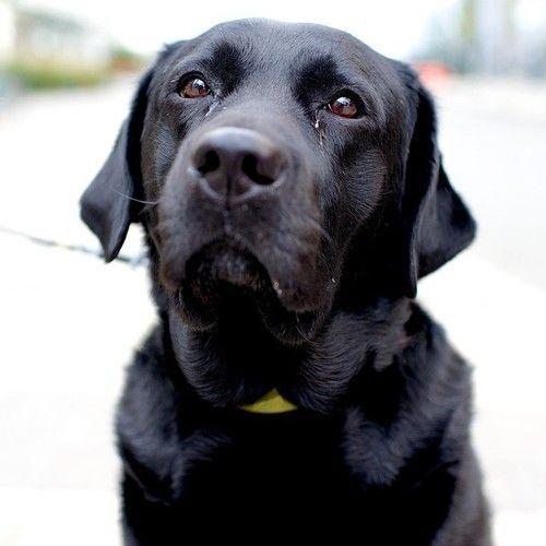 Stella Labrador Retriever 6 Y O N 4th Kent Ave The Dogist Labrador Retriever Lab Dogs Black Labrador
