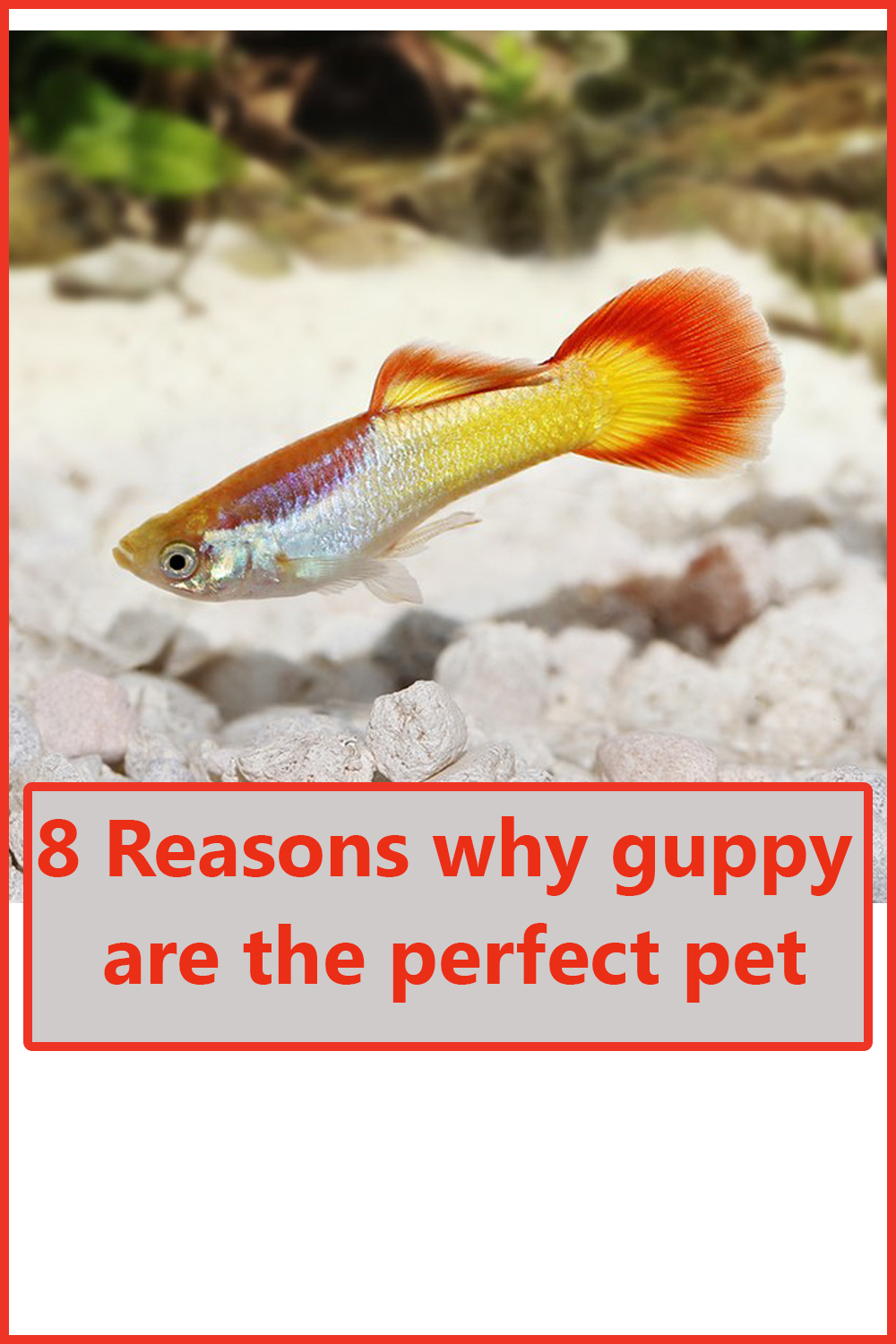 8 Reasons Why Guppy Are The Perfect Pet Guppy Fish Fresh Water Fish Tank Guppy