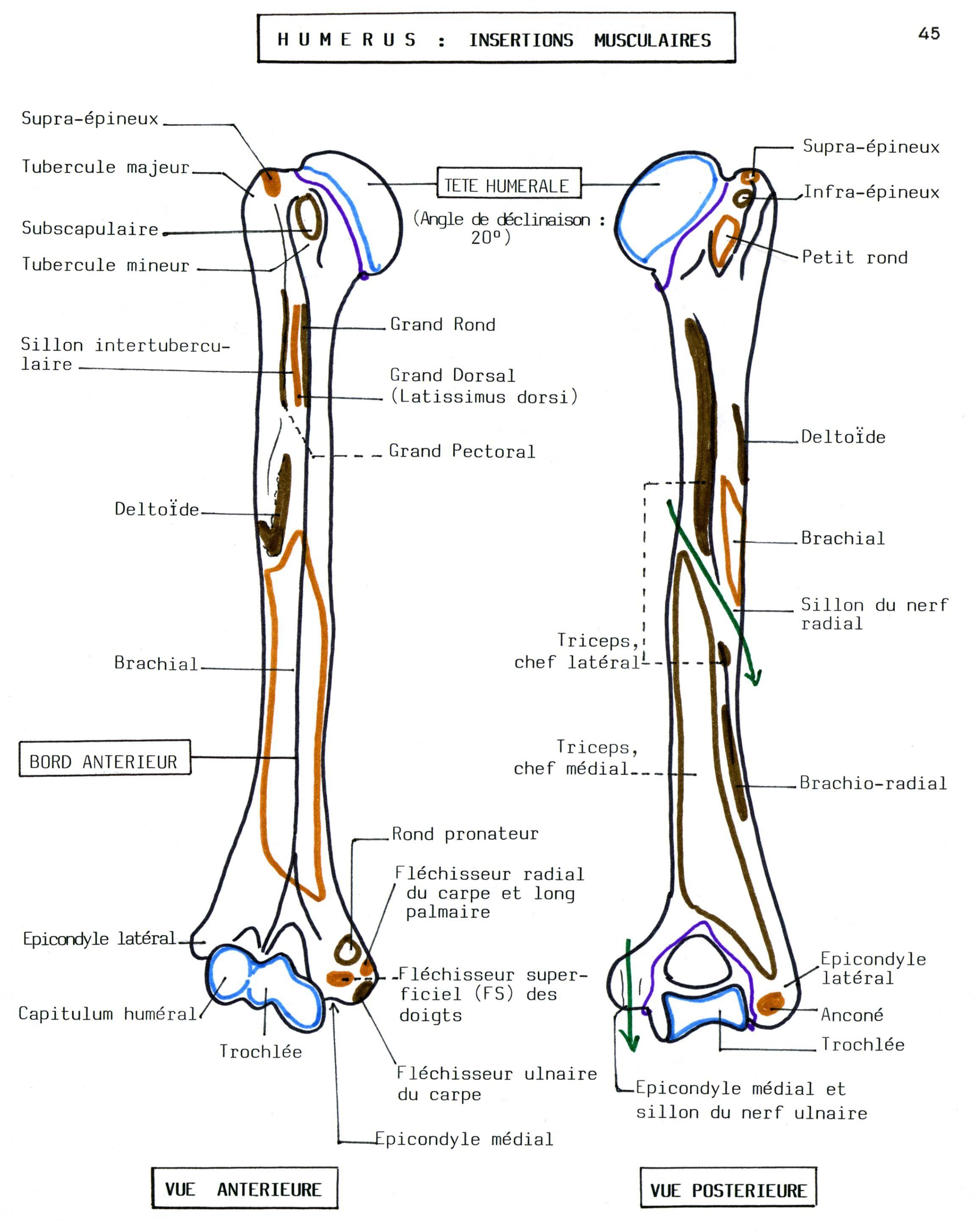 Humerus Bone Worksheet