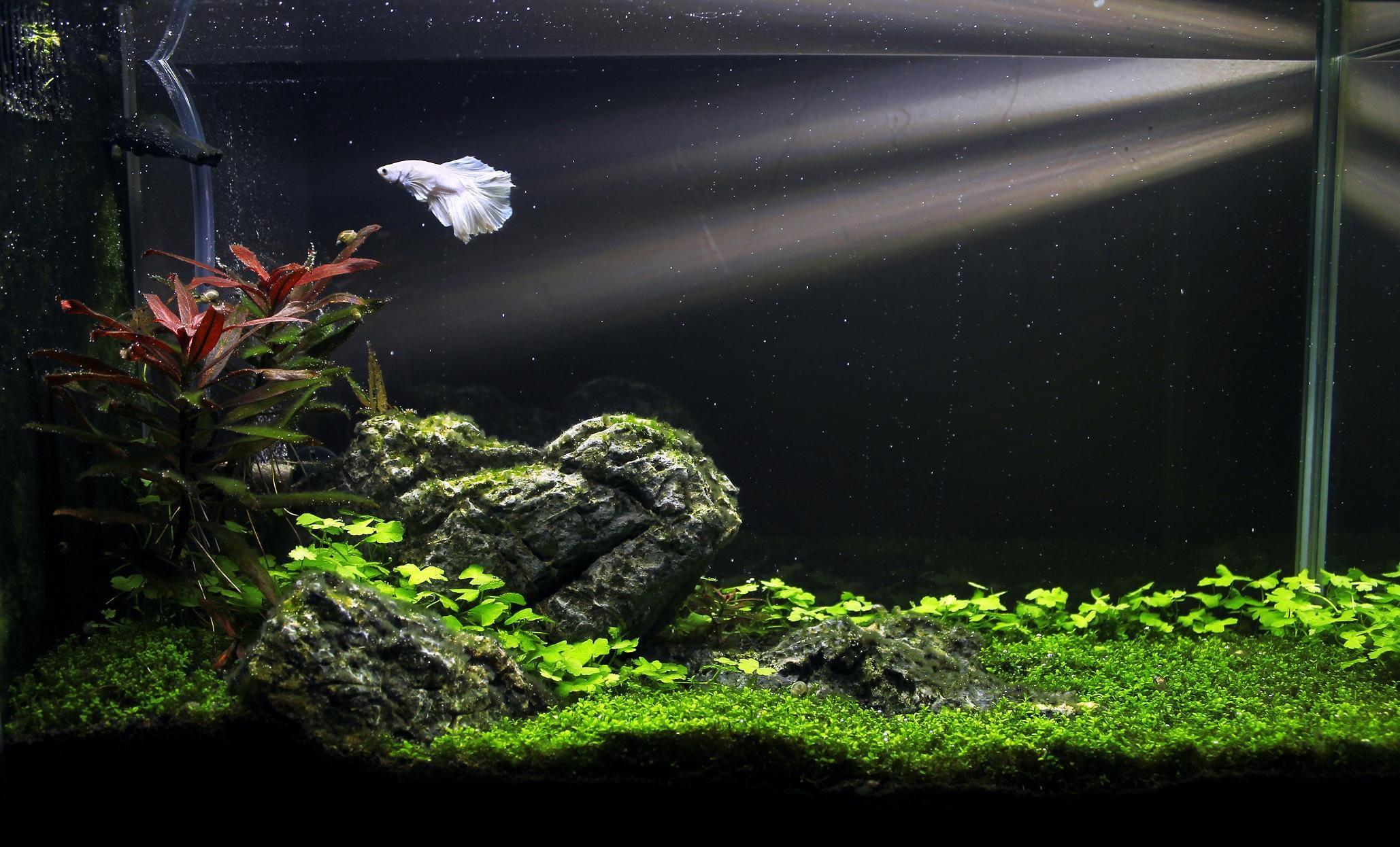 Very Nice I Am Loving The White Betta With The Green Plants And Black Background Nature Aquarium Betta Aquarium Fish Tank